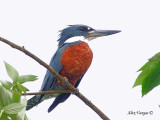 Ringed Kingfisher 2010 - male