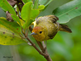 Mangrove Warbler 2010 - female