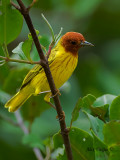 Mangrove Warbler 2010 - male - front view