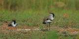 River Lapwing - pair