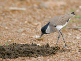 River Lapwing - hunting flies