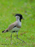 River Lapwing - running