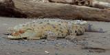 American Crocodrile 2