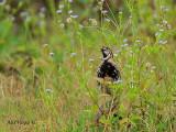 Rain Quail - male - black chest