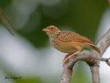 Indochinese Bushlark - away