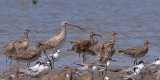 Whimbrels vs Eurasian Curlew - 2010
