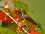 Olive-backed Sunbird - male 2