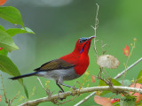 Crimson Sunbird - male - 2010