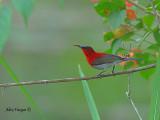 Crimson Sunbird - far away - 2010