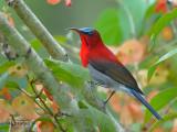 Crimson Sunbird - blue crown - 2010