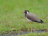 Red-wattled Lapwing - 2010