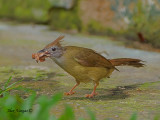 Puff-throated Bulbul - juvenile