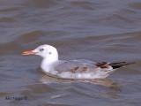 Slender-billed Gull - 1st winter