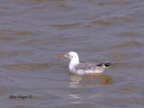 Slender-billed Gull - 1st winter 2