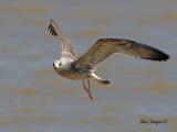 Heuglins Gull - 1st Winter - flight - 2010