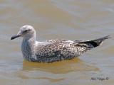 Heuglins Gull - 1st Winter - 2010