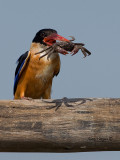 Black-capped Kingfisher - big lunch