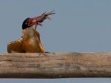 Black-capped Kingfisher - I'll get you smooth
