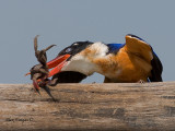 Black-capped Kingfisher - beating the crab out of my crab