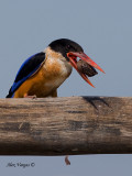 Black-capped Kingfisher - after beat