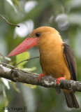 Brown-winged Kingfisher - 2009 - 2