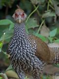 Kalij Pheasant - female - looking at you