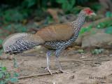Kalij Pheasant - female