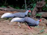 Kalij Pheasant - male  - brothers