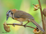 Lesser Necklaced Laughingthrush - 2010 - fruit lunch