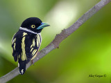 Black-and-Yellow Broadbill - back view