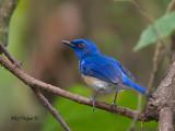 Malaysian Blue-Flycatcher - male - back view