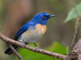 Malaysian Blue-Flycatcher - male