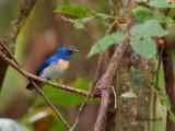 Malaysian Blue-Flycatcher - male - far away