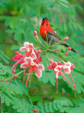 Crimson Sunbird - male  - in pink
