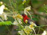 Crimson Sunbird - male  - in yellow