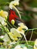 Crimson Sunbird - male  - looking up