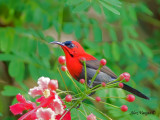 Crimson Sunbird - male