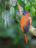 Red-naped Trogon - male - juvenile - from above