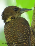Buff-necked Woodpecker - portrait