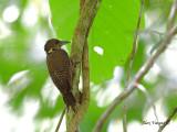 Buff-necked Woodpecker - 2