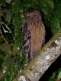 Buffy Fish-Owl - big crop