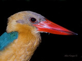 Stork-billed Kingfisher - night portrait