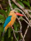 Stork-billed Kingfisher - afternoon - big crop