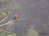 Stork-billed Kingfisher - on the morning mist