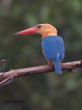 Stork-billed Kingfisher - closer