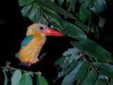 Stork-billed Kingfisher - night safari