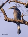 Bushy-crested Hornbill - 2