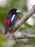 Black-and-Red Broadbill - 4