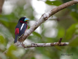 Black-and-Red Broadbill - 3