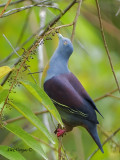 Little Green-Pigeon - looking up